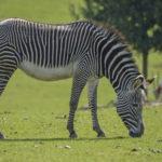 В Германии одну из двух сбежавших из цирка зебр застрелила полиция